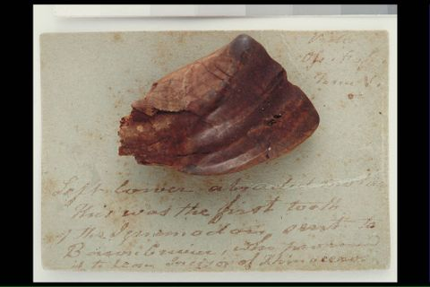 Fossil Iguanodon tooth